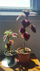 Two Coleus plants (Joseph's Coat) are looking for a new home.