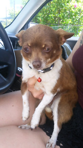 Found female Chihuahua on Hwy 28