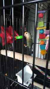 Love bird and cage
