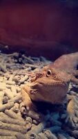 Bearded dragon for sale $200 or best offer.