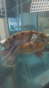 Need to rehome my red eared slider asap!