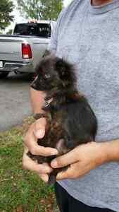 Chihuahua femelle 2,09 lbs