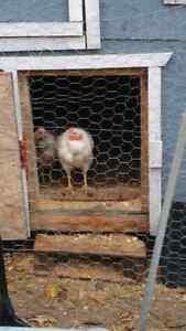 NN Transylvanian rooster