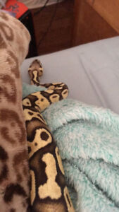 Pastel ball python with cage and accessories