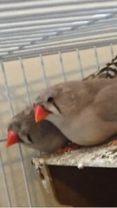 Free finches to a good home