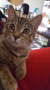Loving Female Tabby (spayed) For Sale