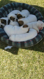 Gorgeous American Bulldog x puppies