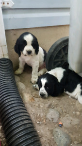 English Springer Spaniels | Adopt Dogs & Puppies Locally in