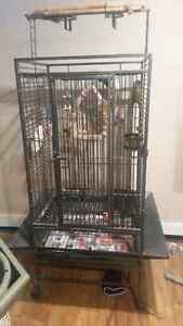 proven pair of conures for sale