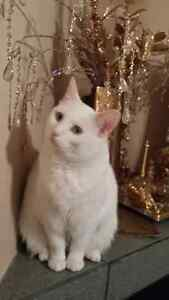 All White Female Cat With Yellow Eyes Lost Edmonton Edmonton Area image 1