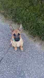 8 month puppy looking for a serious buyer and new home Kitchener / Waterloo Kitchener Area image 8