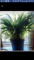 Spider plant about 12 inches and African Mask plant