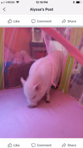 Pot belly pig! House trained.