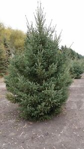 8'-14' White Spruce Trees