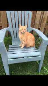 MISSING ORANGE MALE TABBY CAT Peterborough Peterborough Area image 1