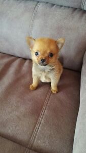Cute and Cuddly Chihuahua Pom Puppies