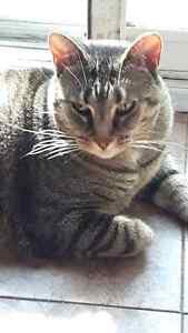 Brown tabby cat-female