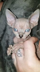 Sphynx kittens ready for new home