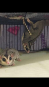 Two Male Sugar Glider with large cage