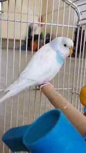 2 budgie birds and cage for sale