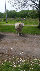Year old Rideau Arcot Cross Ewe for sale