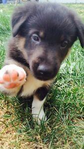 German Shepherd /English Collie pups