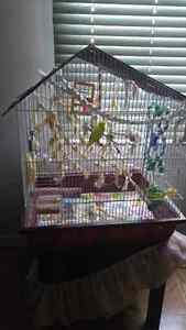 Pair of budgies plus large cage