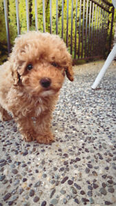 Apriot toy poodle puppy