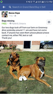 Riley AND Diesel - 2 lost dogs - Boxer and Shepherd Mix