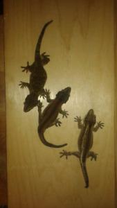 Gargoyle gecko trio with tank