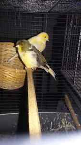 canaries ready to breed