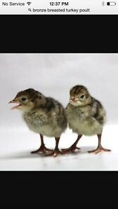 Bronze breasted Turkey poults