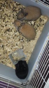 Dwarf Bunny Babies