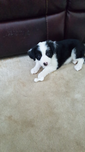 3 pups left for sale in moose jaw