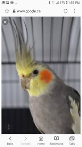 LOST COCKATIEL BIRD