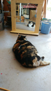 Lost calico cat