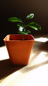 Lemon Tree Plant