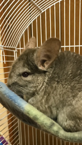 Chinchilla Boy Looking for a Good Home