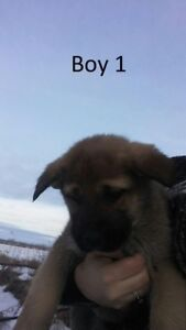 German Shepherd / Great Pyrenees puppies *only a couple left