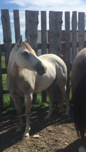 PRETTY PAPERED QUARTER HORSE MARE FOR SALE