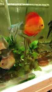 Freshwater fish for sale high quality and diverse  West Island Greater Montréal image 4