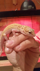 Trio of high end leopard gecko's