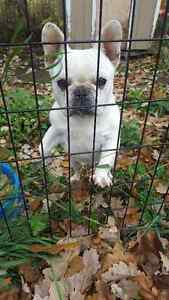 French Bulldog Kennel Sell Out!