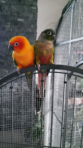Yellow Sided Conure & Sunset Conure to good home
