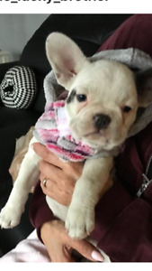French bulldog female puppy 4 months old