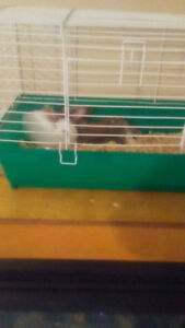 Pair Of Baby Dwarf Rabbits For Sale