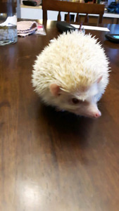 Male apricot hedgehog