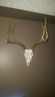 European skull mounts