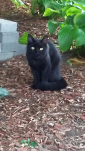 FOUND - BLACK CAT IN WHITBY