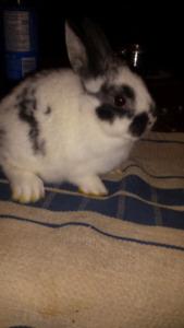 Dwarf bunny's for sale